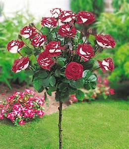 rosen stammchen osiriar 1a qualitat kaufen baldur garten With französischer balkon mit www baldur garten de rosen