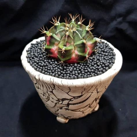 😘😘😍😍 #cactuslover #cactus #cactusthailand #ยิมโนด่าง #ยิมโนแคคตัส #ยิมโน #gymnocactus # ...