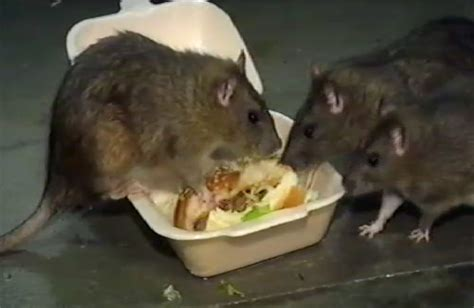 rat cuisine food unfit for rats upgrade the lighting