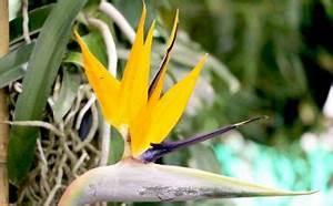 Glücksfeder Gelbe Blätter : s kartoffel anbau im garten k bel tipps zum pflanzen und ernte plantopedia ~ Markanthonyermac.com Haus und Dekorationen