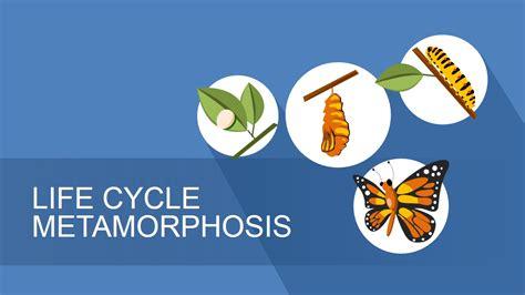 lifecycle metamorphosis diagram  powerpoint slidemodel