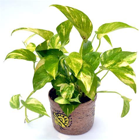 money plant buy money plant hybrid online flaberry com