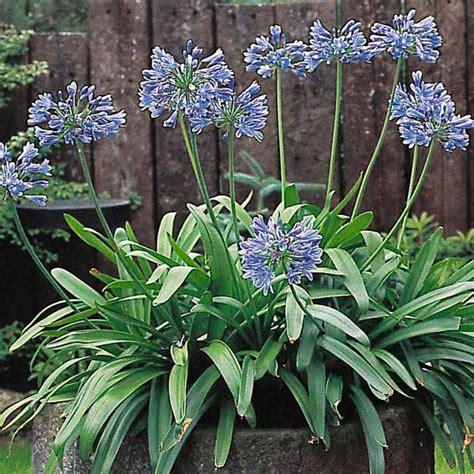 afrikanische lilie überwintern schmucklilie afrikanische lilie blau kaufen bei g 228 rtner p 246 tschke
