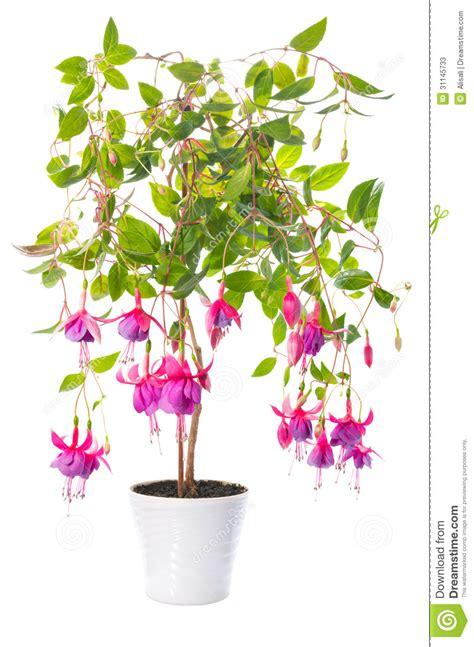 plantes d int 233 rieur fuchsia de fleur dans le pot de fleur tennessee walts photos stock image