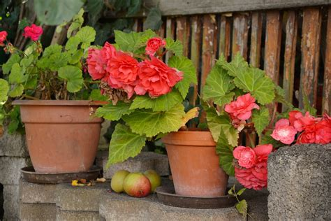 free photo begonias flower pots free image on pixabay 1603524
