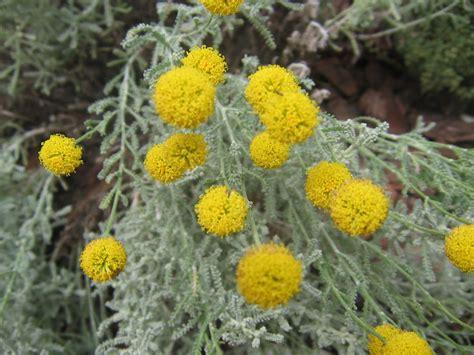 Conheça Mais Sobre a Santolina Chamaecyparissus | Flores ...