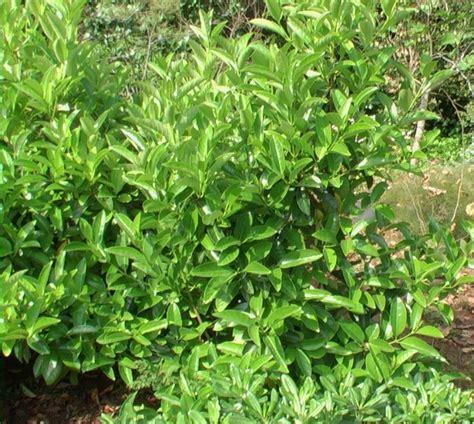 viburno in vaso viburnum lucidum in vaso balestrate pa guida sicilia