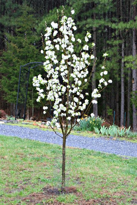 Flowering Trees For Your Front Yard  Home Garden Joy