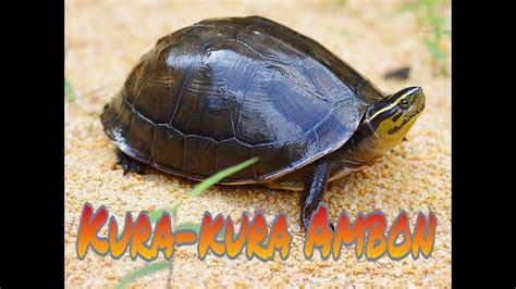 Review Kura-Kura Ambon    Pengenalan & Harganya. - YouTube