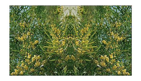 mimosas conseils de plantation taille et entretien