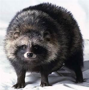The Raccoon Dog – Koryos Writes