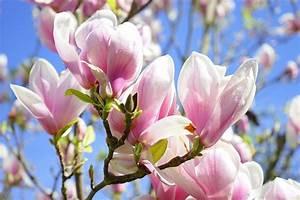 Fleur De Magnolia : photo gratuite magnolia fleur de magnolia fleurs ~ Melissatoandfro.com Idées de Décoration