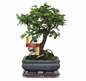 Bonsai Chinesische Ulme : bonsai chinesische ulme ulmus parviflora ca 6 jahre kugelform ~ Sanjose-hotels-ca.com Haus und Dekorationen