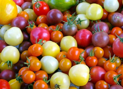 color tomato news and guides my green corner 187 growing tomatoes