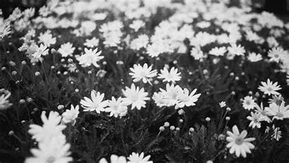 Daisy Animated Flower Gifs Daisies Nature Pretty