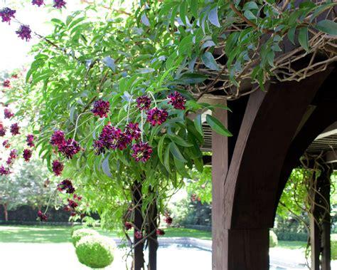 evergreen wisteria moss landscaping
