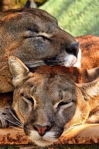 Sleeping Lion Mountain Cougar