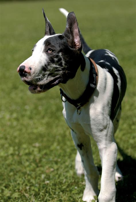 great dane dog breeds  mypetsmartcom
