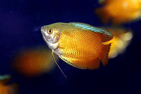 tropical fish findercouk  ultimate uk fish keeping