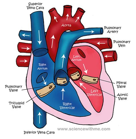 heart diagram unlabeled clipartsco