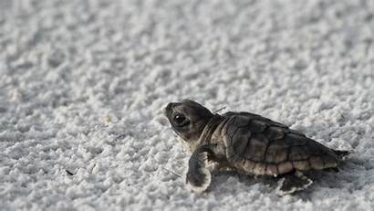 Turtle Animals Wallpapers Beach Animal Turtles Background