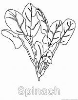 Spinach Coloring Vegetable Pages Designlooter Drawings sketch template