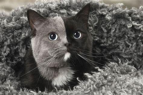 ce rare chaton ne avec deux faces  grandi  est