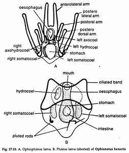 Larvial Forms Of Echinoderms  With Diagram