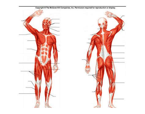 When muscles contract, they contribute to gross and fine movement. Human Muscular System Diagram