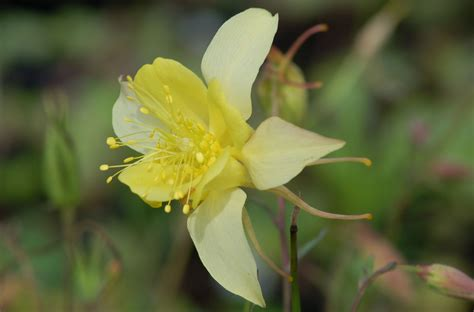 columbine flower columbine flowers facts and growing tips