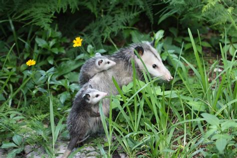 Possum Backyard by Dealing With Backyard Possum Problems How To Get Rid Of