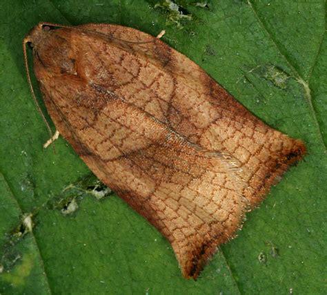 http://www.european-lepidopteres.fr/Archips-podana.html
