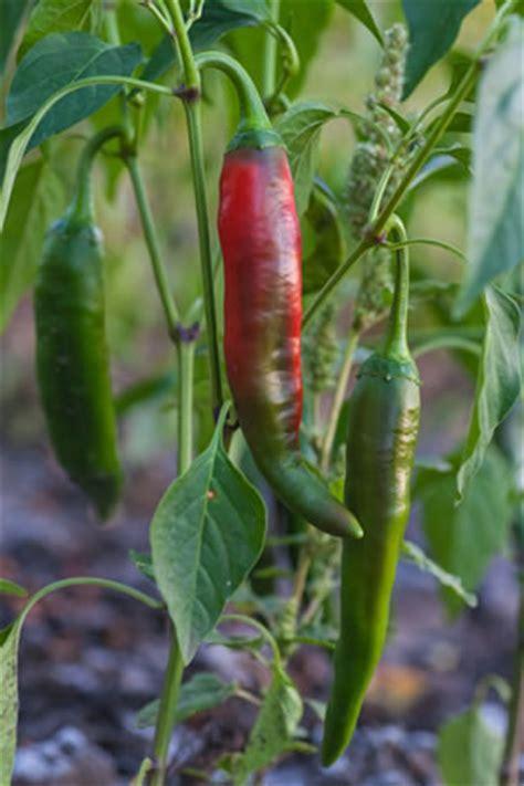 Peperonianbau  Pflanzen, Pflege Und Ernten
