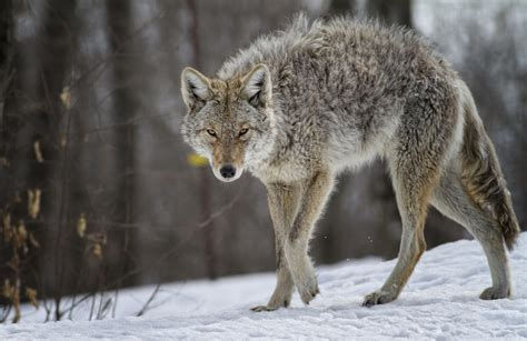 Images Of A Coyote Coyote Spurs Debate Ethics And Ecology