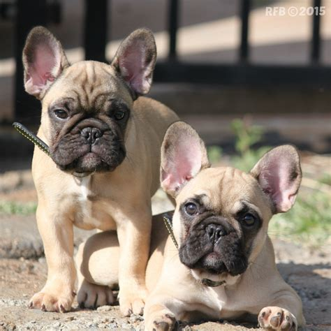 do bulldogs shed everything about your bulldog my dogs