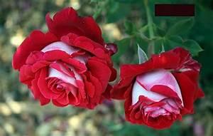 Rosen Schneiden Frühling : rosen schneiden ~ Watch28wear.com Haus und Dekorationen