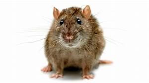 Unterschied Maus Ratte : ratten biologie der ratte ratten haustiere natur ~ Lizthompson.info Haus und Dekorationen