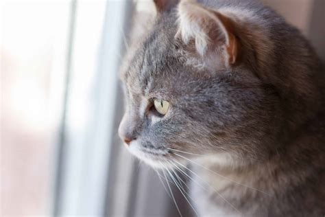 cat ear cats cattitudedaily infection anatomy slits why ears risk structure