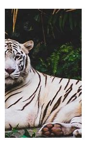 Wildlife White Tiger 5K Wallpaper | HD Wallpapers