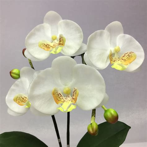 ดอกกล้วยไม้ phalaenopsis จัดในกระถางเซรามิค สำหรับประดับตกแต่ง
