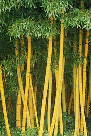 tanaman hias bambu  cantik oleh komunitas cinta bambu