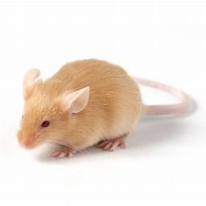 Produit Pour Tuer Les Souris : souris couleur autres marques animalerie truffaut ~ Melissatoandfro.com Idées de Décoration