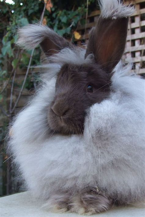 angora rabbit angora rabbit bunny rabbits pinterest