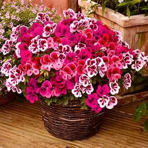 Wann Geranien Pflanzen : wunder geranie candy flowers von g rtner p tschke ~ Lizthompson.info Haus und Dekorationen