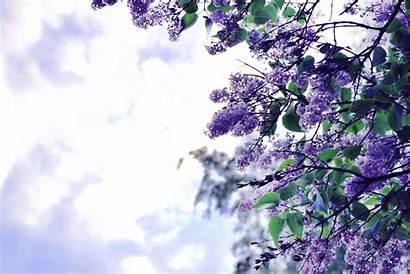 Lilac Flowers Tree Flower Purple Spring Wallpapers