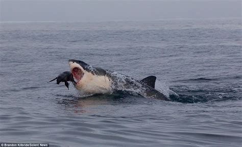 Great White Shark Jumping Out Of Water Wallpaper Seal Escapes Certain Death By Leaping Clear Of Hungry Great White Shark In South Africa Daily