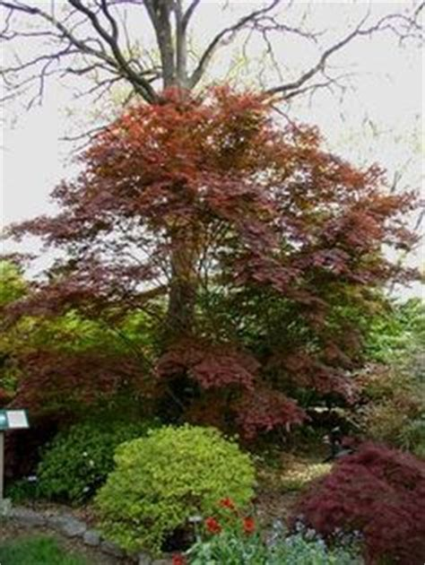 how to plant a japanese maple tree dwarf weeping japanese maple japanese maples and bonsai pinterest japanese maple trees