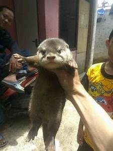 Addresses With Phone Numbers Asian Small Clawed Otters For Sale As Pet Only Rodent