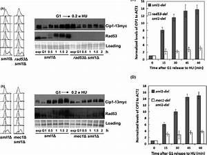 Increase In Cip1 Abundance Upon Replication Stress Depends
