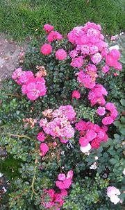 'Pink Pearls' ground cover rose   fuzzyjay   Flickr